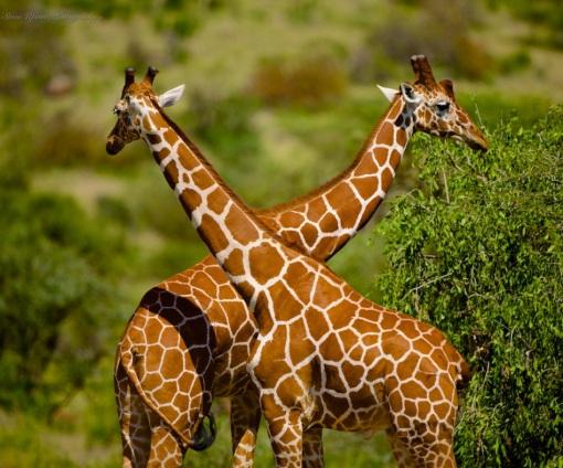 4-reticulated-giraffes-46