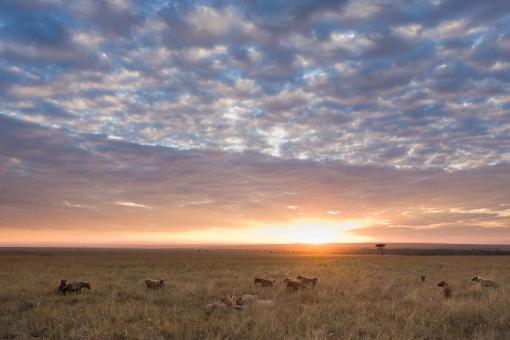 acts African safaris safari Masai Mara safari wildebeest migration Masai mara national park Kenya Africa safari amazing beautiful wildebeest animal photos