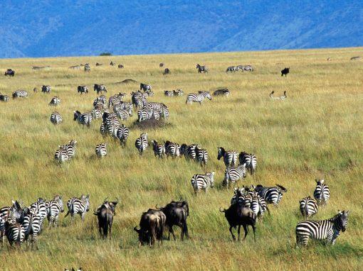 African photo safari Masai mara safari wildebeest migration Masai mara national park Kenya animals on a safari amazing beautiful wildebeest1 animal photos