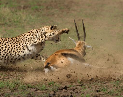 cheetah_kill_2_MasaiMara_2013