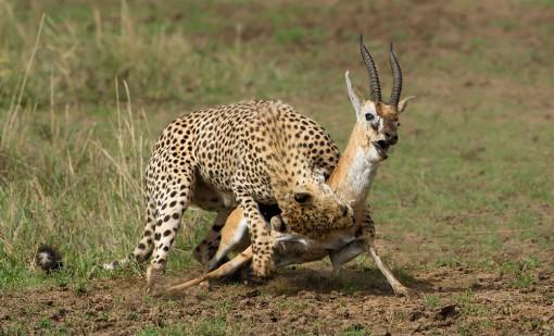 cheetah_kill_3_MasaiMara_2013