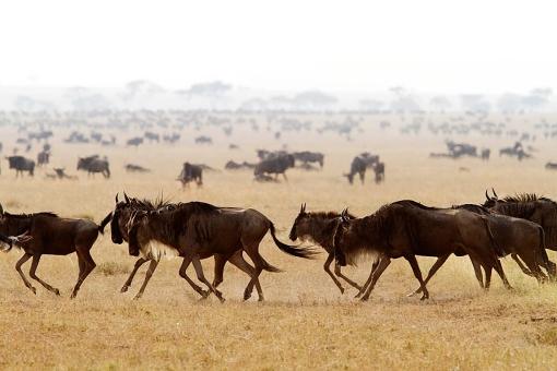 ican photo safari Masai mara safari African savanna wildebeest migration Masai Mara national park Kenya big five amazing beautiful wildebeest animal photo