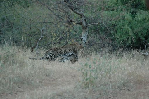 leopard-dragging-its-prey