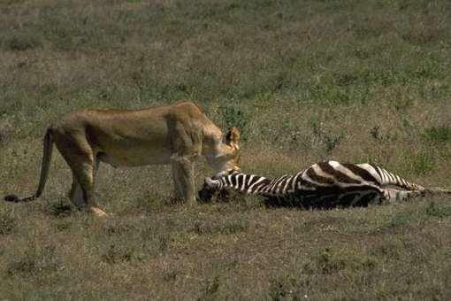 lion+zebra