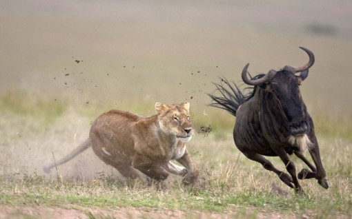 ons hunting wildebeest  lioness-chasing-a-wildebeest-Masai Mara Kenya animal hunting animal competition beautiful animals of kenya amazing animal pictures