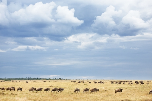 Blue Wildebeest (Connochaetes taurinus), migrating herd, Masai Mara, Kenya