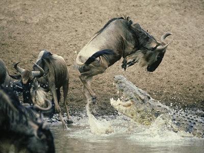 ts African photo safari Masai mara safari wildebeest migration Masai mara national park Kenya animals of Africa amazing beautiful wildebeest animal photos