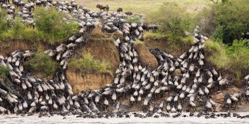 ts African photo safari Masai mara safari wildebeest migration Masai mara national park Kenya safaris in Africa amazing beautiful wildebeest animal photos
