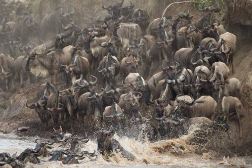 Wildebeest migration animal facts African photo safari Masai mara safari wildebeest migration Masai mara national park Kenya Safaris