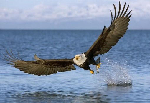 3957-bald_eagle_snatch_mid9e342