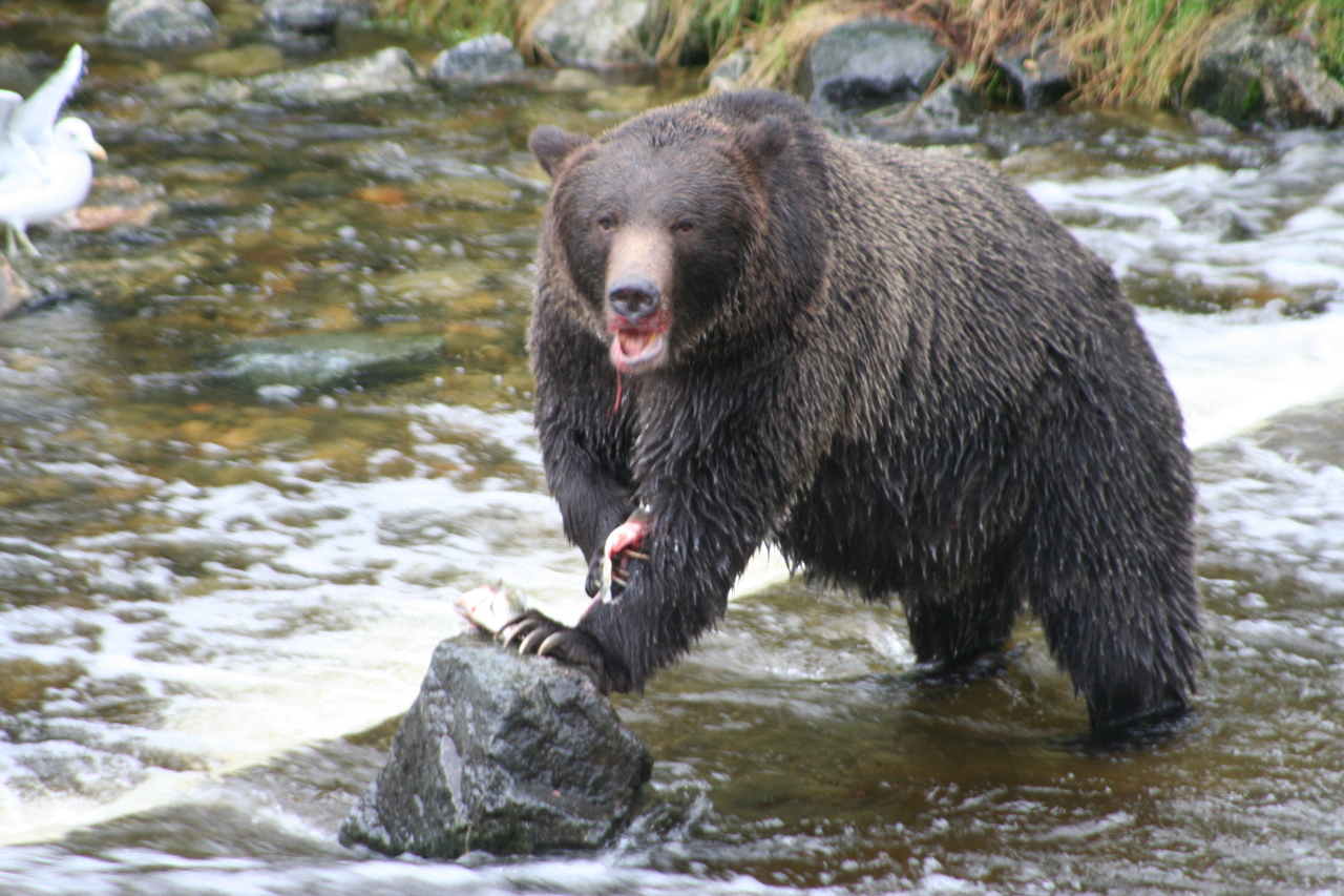 Grizzly Bears On Vancouver Island