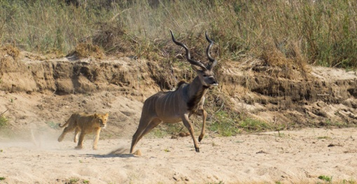 1-Large-kudu-bull-was-ambushed-after-being-chased
