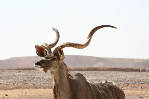 1280px-Kudu_antelope