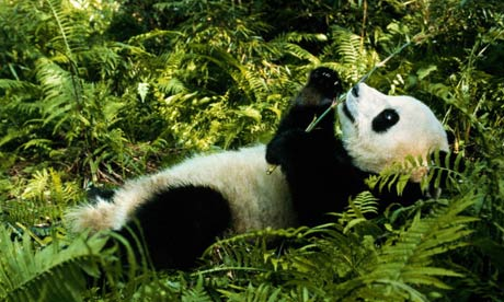 Giant panda and the Bamboo. | pgcps mess - Reform Sasscer ...