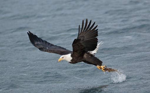 bald-eagle-striking-fish-