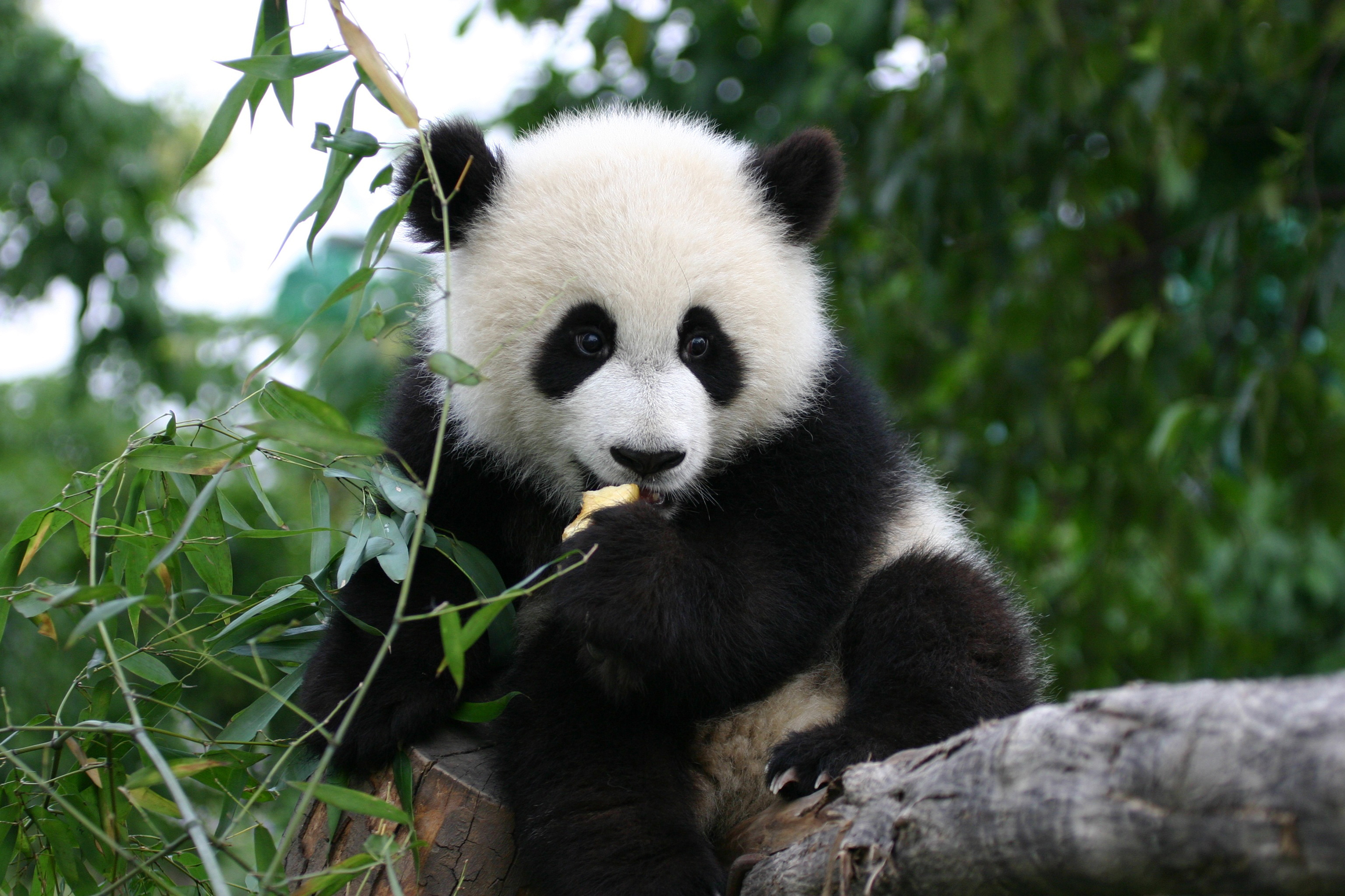 Giant panda and the Bamboo    pgcps mess - Reform Sasscer without