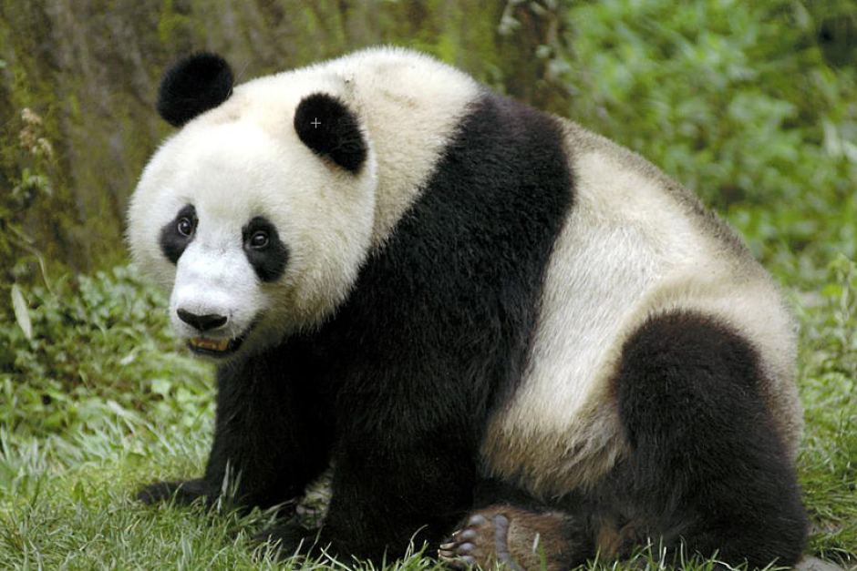 Giant panda and the Bamboo   pgcps mess - Reform Sasscer without delay