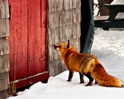 fox_hen_door