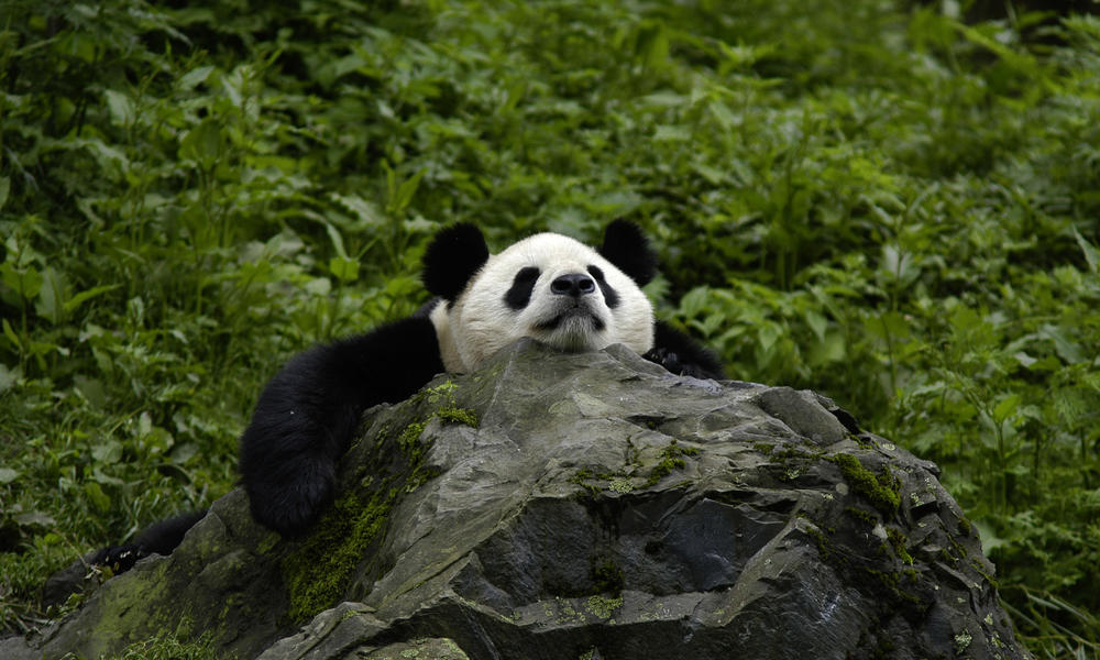 Giant Pandas    pgcps mess - Reform Sasscer without delay