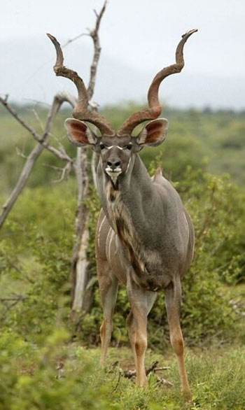greater_kudu_2