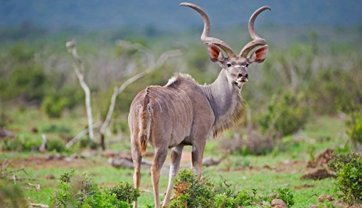 greater_kudu_large