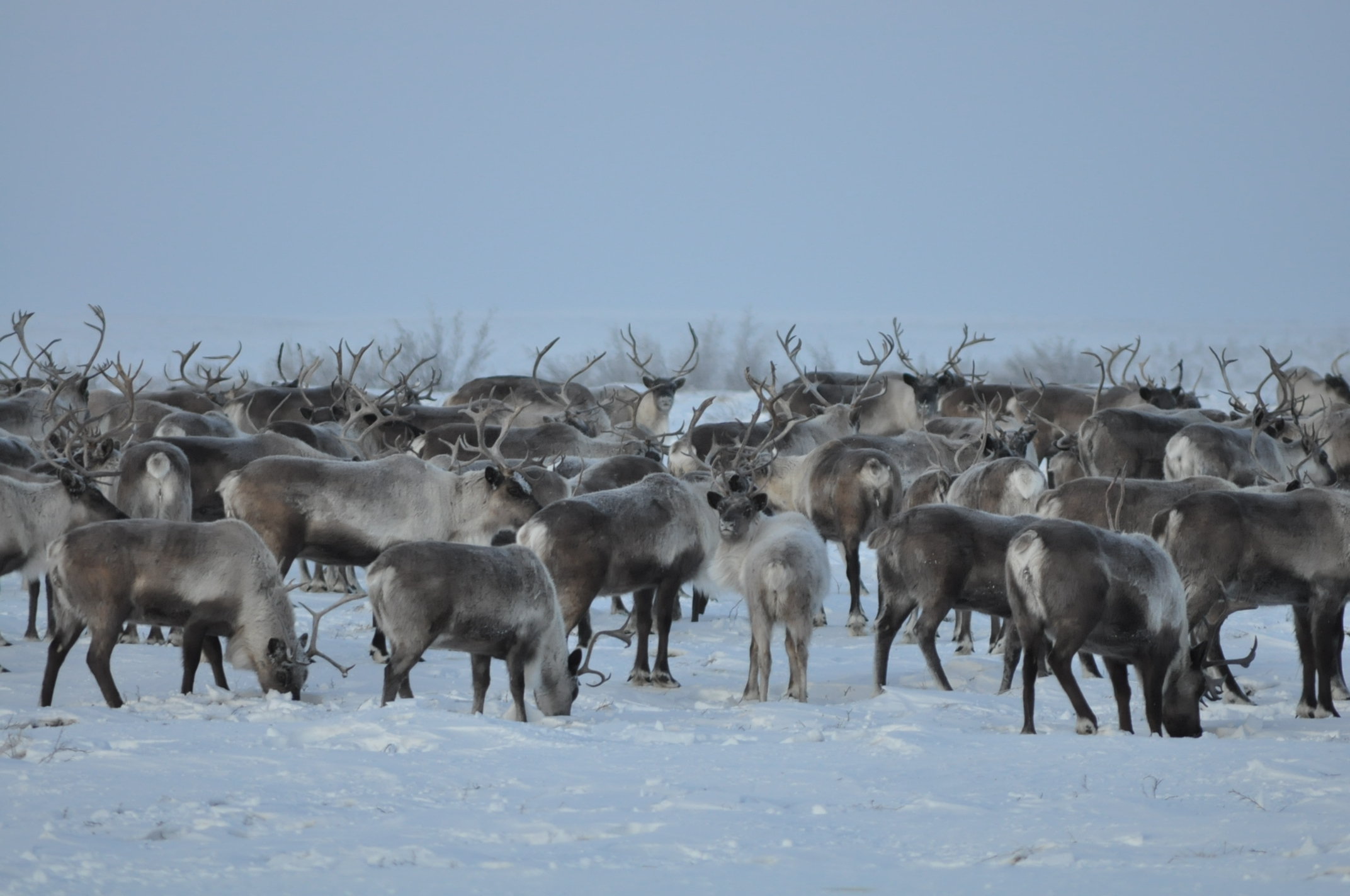 the reindeer also known as caribou in north america pgcps mess