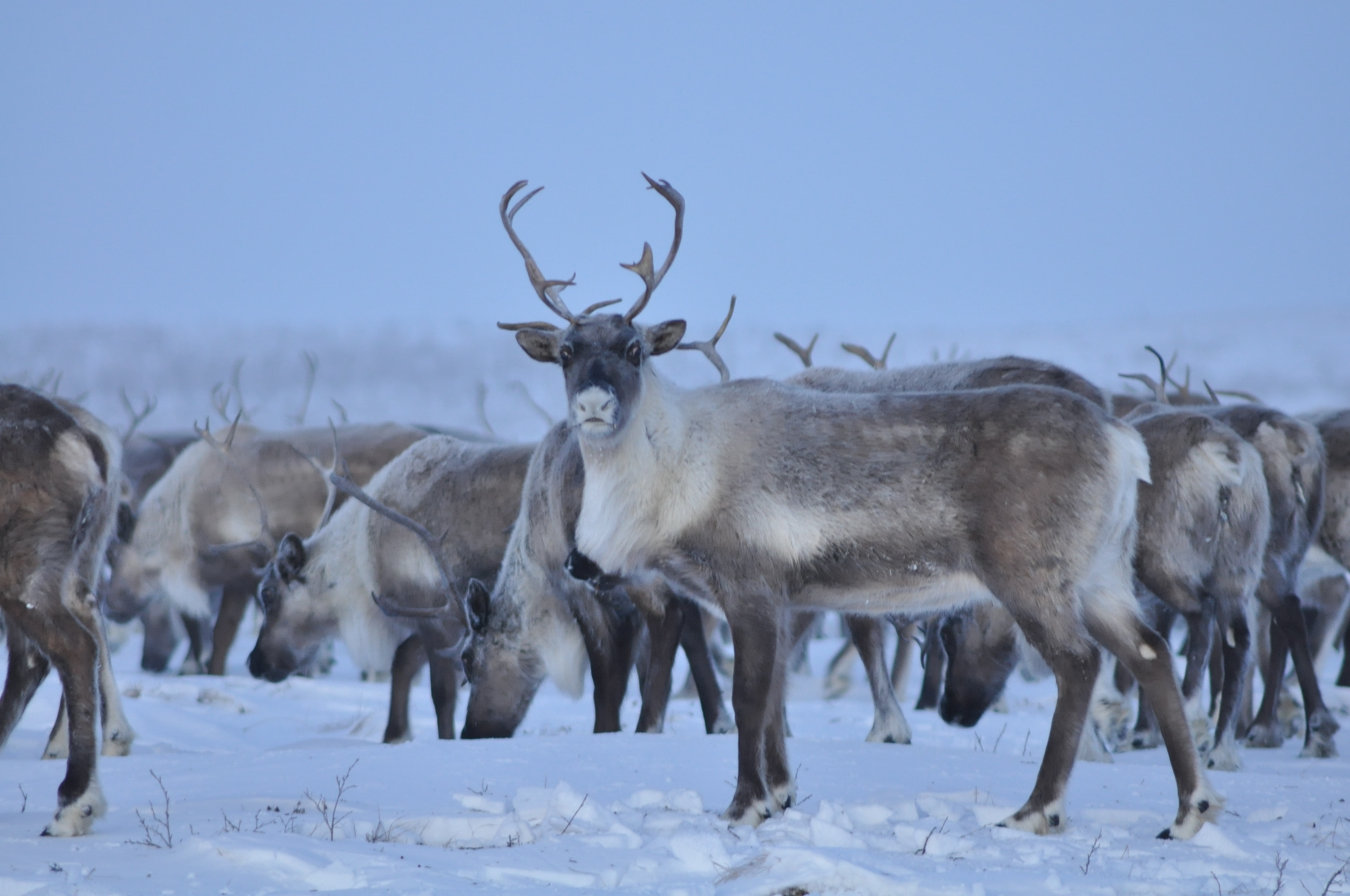The Reindeer also known as caribou | pgcps mess - Reform ...