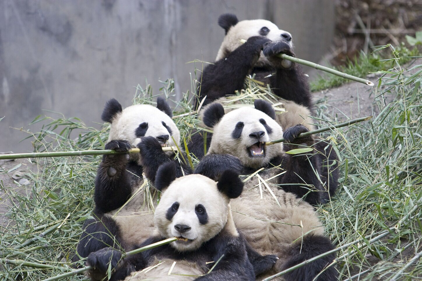 Giant panda and the Bamboo. | pgcps mess - Reform Sasscer ... - photo#33