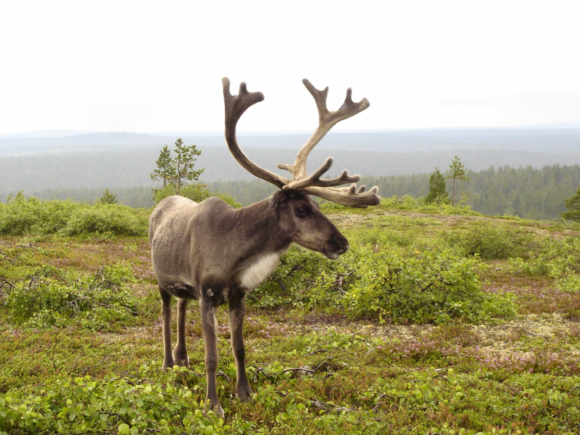 The Reindeer Also Known As Caribou In North America