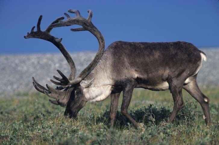 The Reindeer Rangifer Tarandus Pgcps Mess Reform