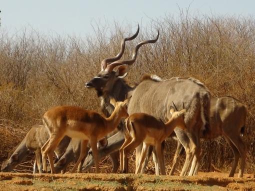 kudu-bow