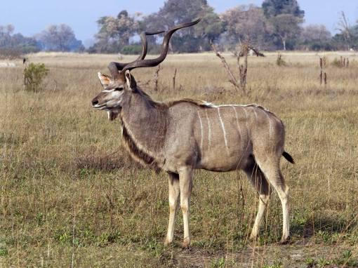 Kudu---bull