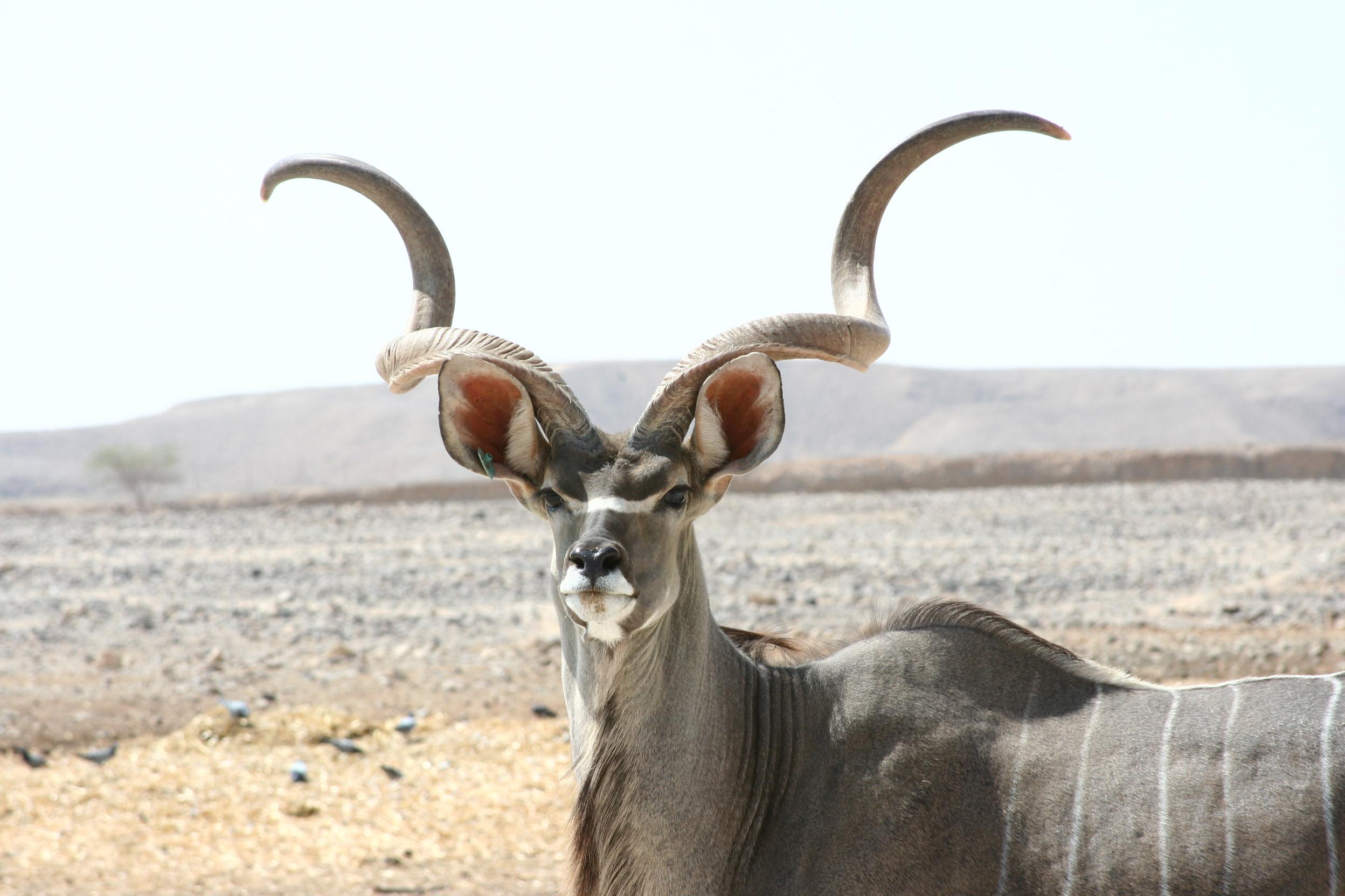 Kudu_antelope_