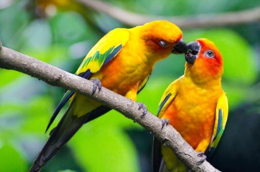 Love-birds-Parrot