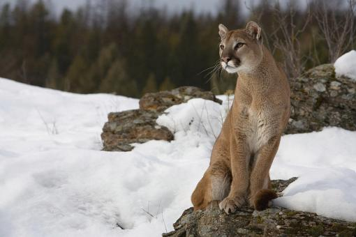 mountain-lion-puma-concolor-sitting-matthias-breiter