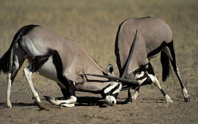 The gemsbok (Oryx gazella) | PARENTS ALLIANCE OF PRINCE ...