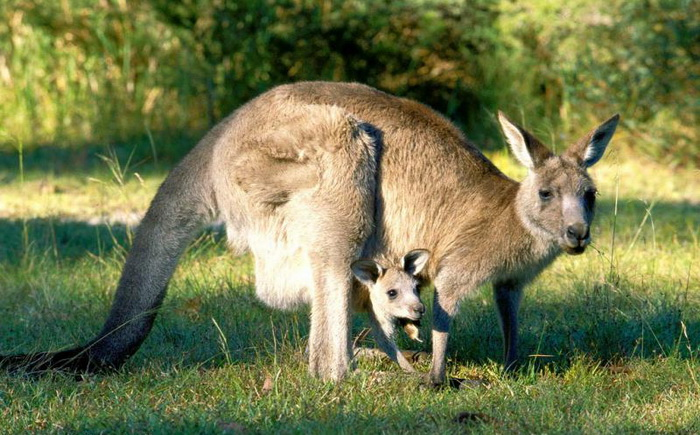 the kangaroo is a marsupial from the family macropodidae