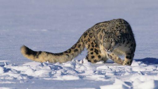 824x_snowleopard