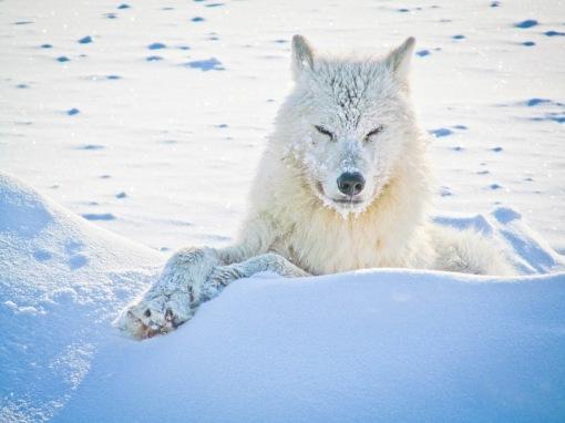alert-wolf