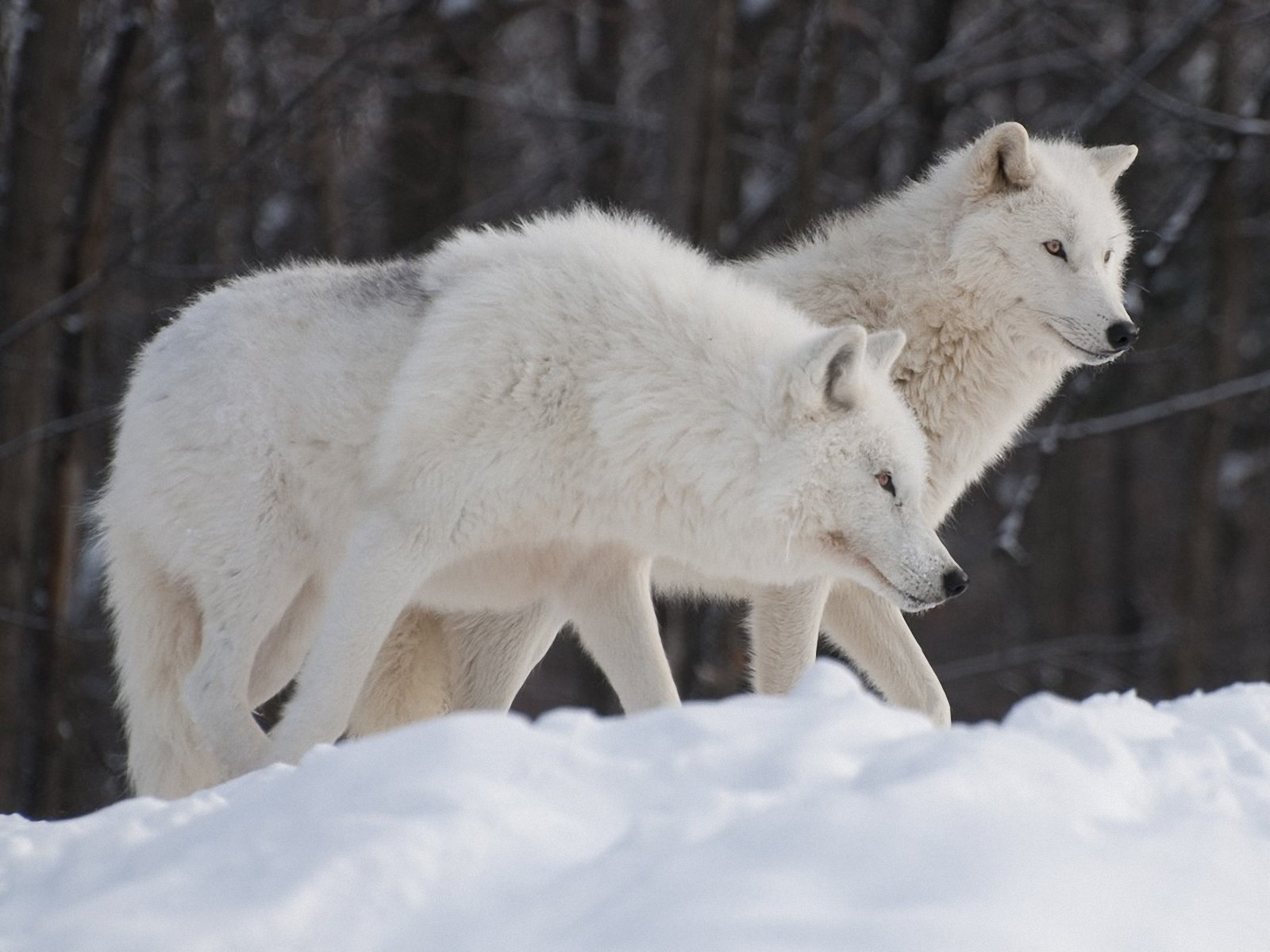 Arctic wolf. | pgcps mess - Reform Sasscer without delay.