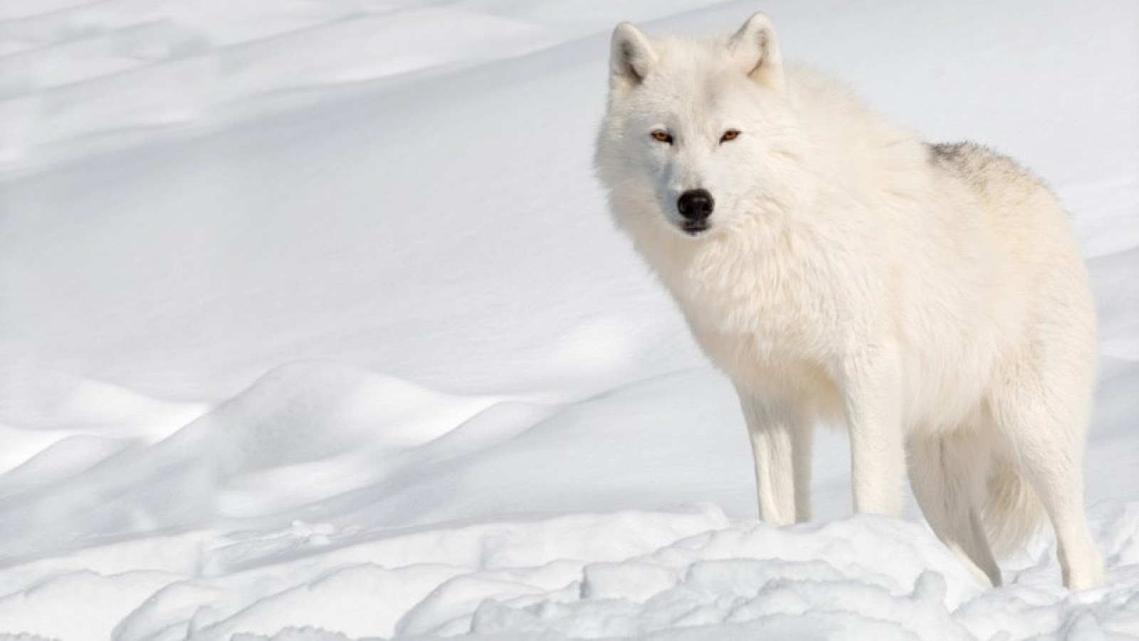 related pictures arctic wolves - photo #8