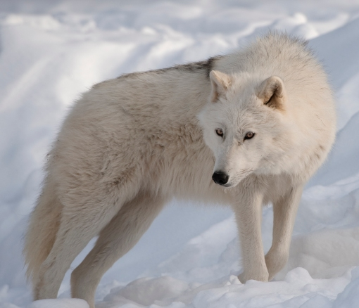 Arctic_Wolf_Picture