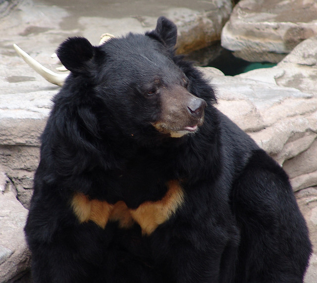 asiatic black bear help change the world the future of the
