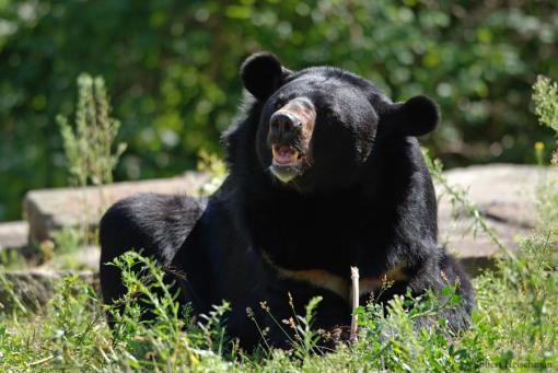 Asiatic_Black_Bear_by_robbobert