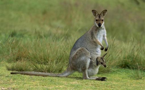 Australian%20Kangaroo%20with%20Baby_1024