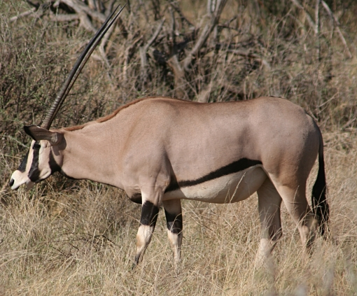 Beisa_Oryx,_Samburu_NR,_Kenya