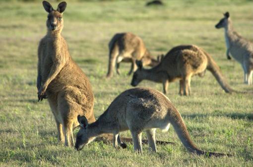Forrester-Kangaroo-mob