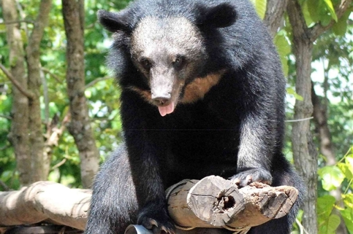 Asiatic Black Bear. | PARENTS ALLIANCE OF PRINCE GEORGE'S ...