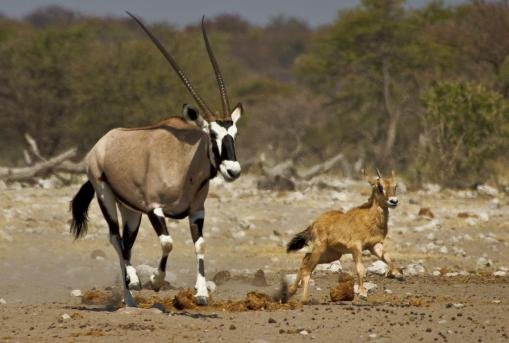 gemsbok-antelope-baby-etosha-national-park-namibia-africa-south-wildlife-running