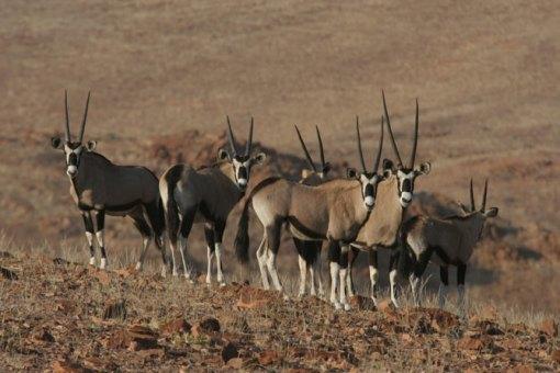 Gemsbok-Oryx-gazella-can-survive-weeks-without-drinking-water